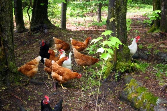 le lâcher de la poule (et du coq)