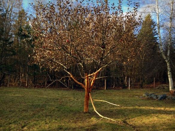 aurons-nous des pommes l'an prochain?