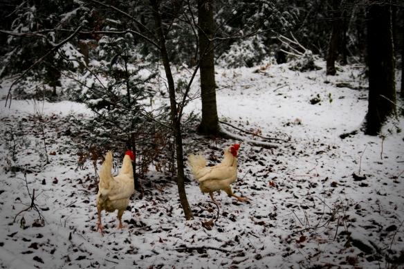 poules blanches (1 sur 1)
