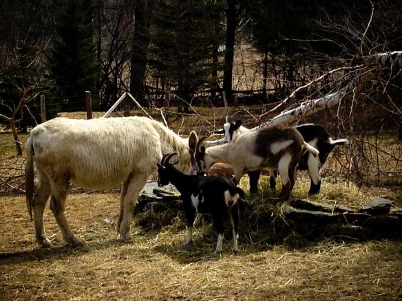toundra et chèvres