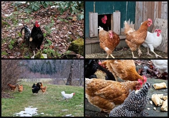 poules 25 dec